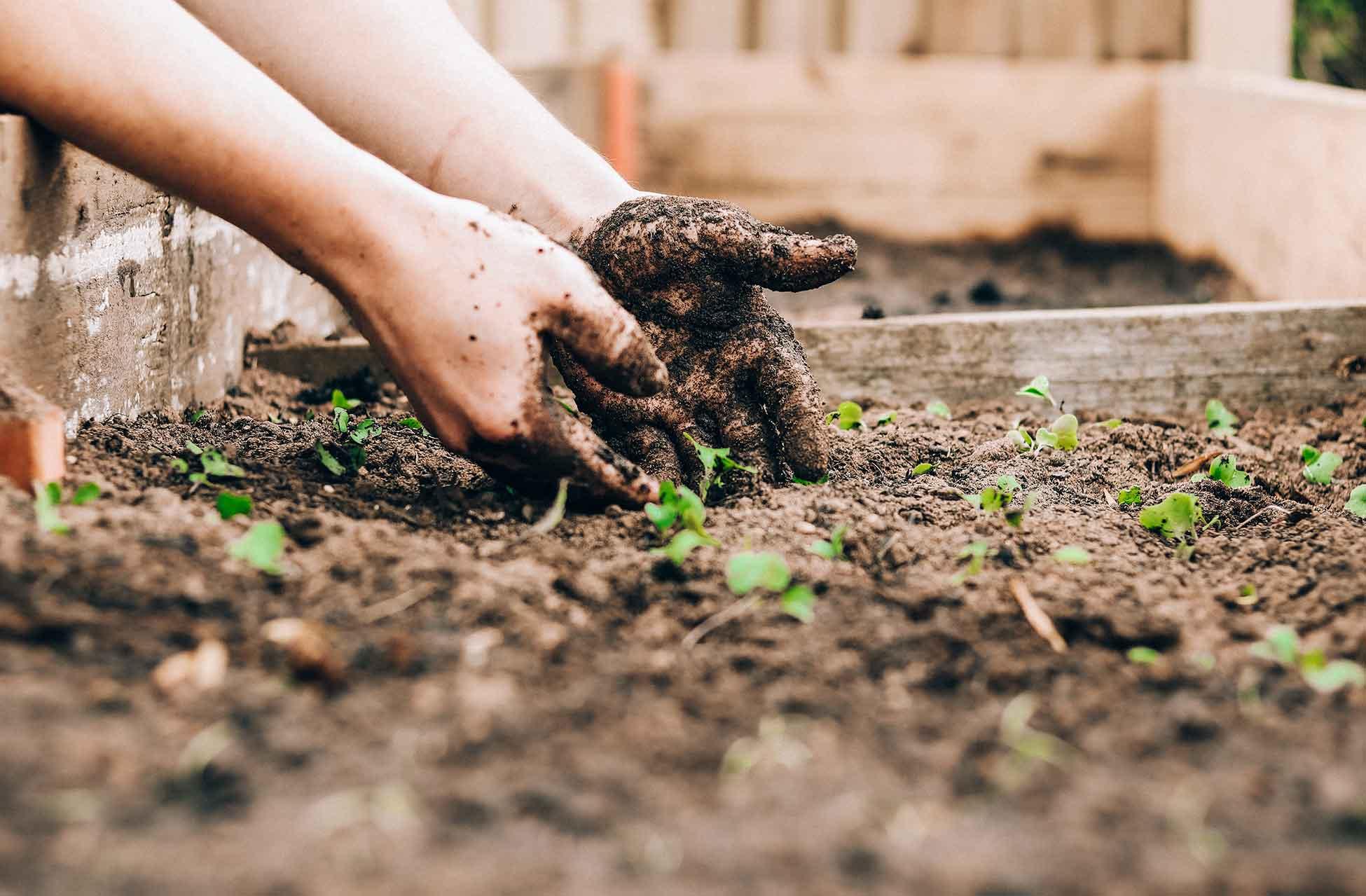 Mit Erde bedeckte Hände pflanzen einen Setzling in ein Hochbeet