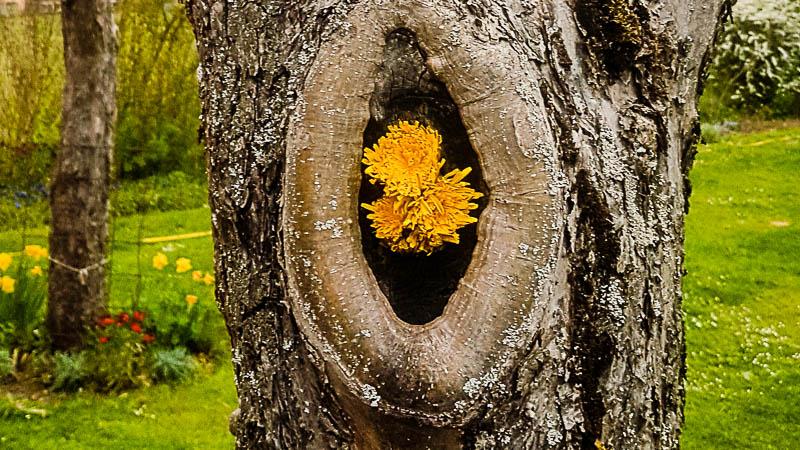 Löwenzahn-Blüten in einem Astloch