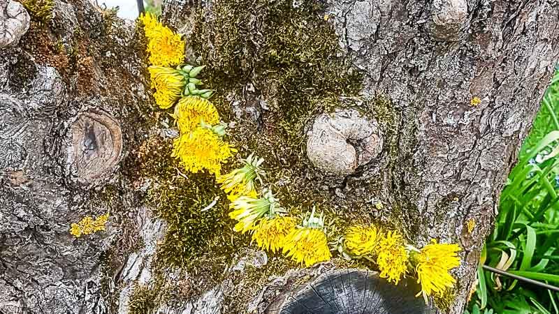 Löwenzahn-Kette im Baum