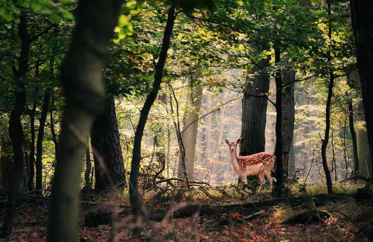 Ein scheues Reh im sonnigen Wald